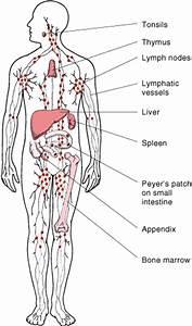 Hodgkin U0026 39 S Lymphoma
