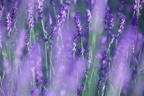 lavender for flies 9 plants that bug bugs including mosquitoes