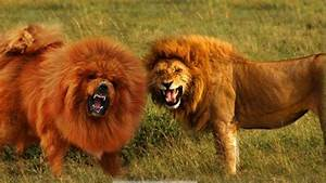 Seven Dogs That Look Like Lions | PetHelpful
