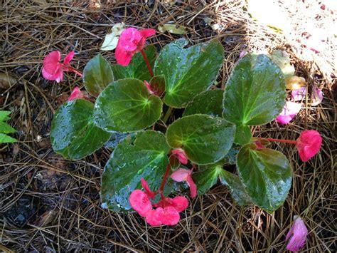 begonias outdoors how to propagate begonias hgtv