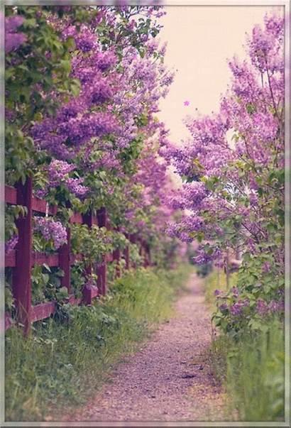 Lilac Garden Flower Hadrianus Pretty Spring Purple