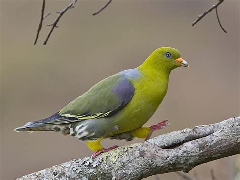 african green african green pigeon focusing on wildlife