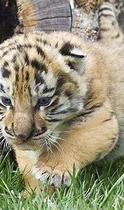 White Tiger Cubs Desktop Wallpapers - Wallpaper Cave