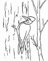 Woodpecker Coloring Pages Printable Drawing Template Today Pileated Sheet Woody Headed Getdrawings Samanthasbell Sketch Templates sketch template