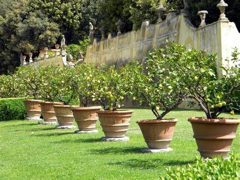 piante limoni in vaso concimazione limoni in vaso concime come concimare