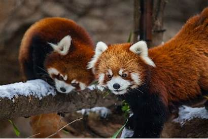 Panda Snow Cubs Zoo Park Lincoln Pandas