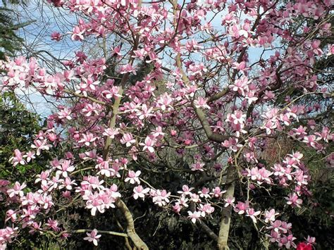 ornamental magnolia tree magnolia tree care how to grow healthy magnolia trees