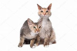 Two Sphynx (cat) with hair — Stock Photo © eriklam #12876292