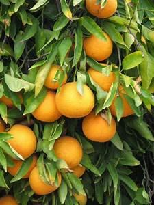citrus id fact sheet kiyomi
