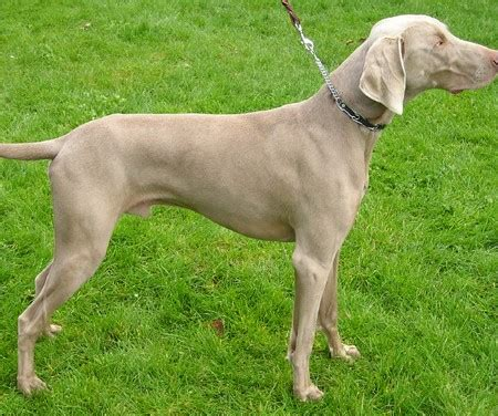 Dogs That Dont Shed Weimaraner by Non Shedding Small Dogs Australia Non Shedding Small Dogs