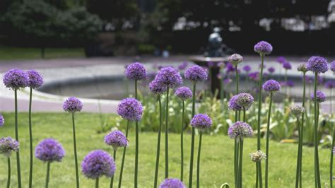 why you should plant allium bulbs this fall garden