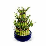 Bambus Pflege Zimmerpflanze : bambus testberichte bei ~ Frokenaadalensverden.com Haus und Dekorationen