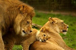 Amazing Facts About Lions and Their Life Information