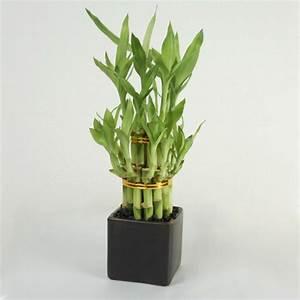 Bambus Pflege Zimmerpflanze : feng shui pflanzen f r harmonie und positive energie im wohnraum ~ Frokenaadalensverden.com Haus und Dekorationen