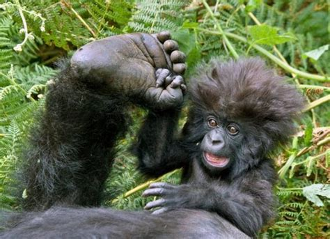 funny gorilla pictures  news icon