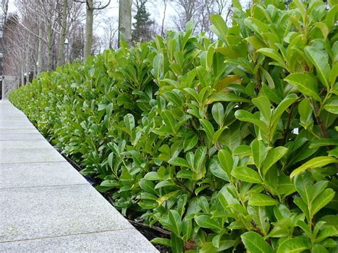 hedge plants 25 cherry laurel evergreen hedge plants 30 50cm in pots ebay