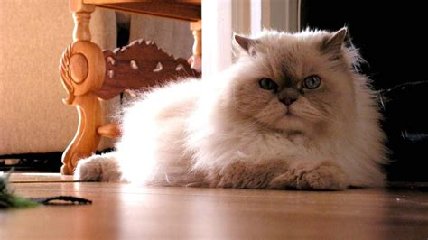 difference   himalayan cat