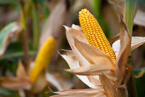 worlds  biggest corn producers