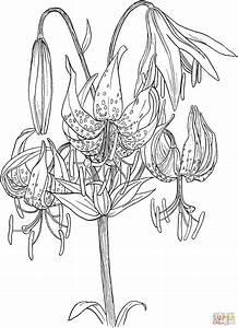 Lilium Superbum or Turk's Cap Lily Coloring Online | Super ...
