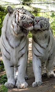 The Mighty Tiger: 15 Facts and 25 Stunning Photos | Tiger ...