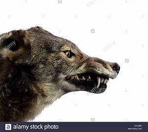Studio shot of a Wolf Growling Stock Photo, Royalty Free ...