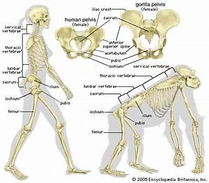 The skeletal structure of a human being (left) and of a ...