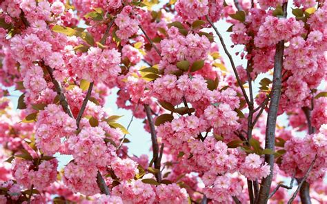 Pink Flowers Bloom Wallpapers  Hd Wallpapers  Id #5645