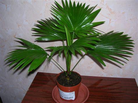 Istabas palma: veidi un šķirnes, kopšana un audzēšana dzīvoklī