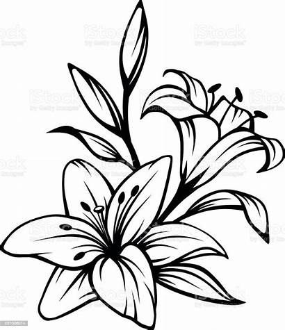 Lily Flower Vector Flowers Drawing Illustration Easter