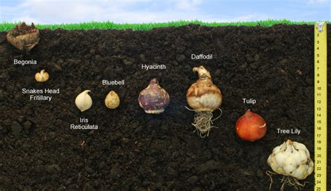 how to plant and grow bulbs corms and tubers thompson