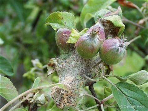 apfelbaumgespinstmotte schaeden  blaettern und jungen