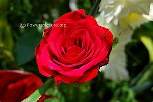 Alec U0026 39 S Red Rose