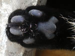 Black Cat with White Paws