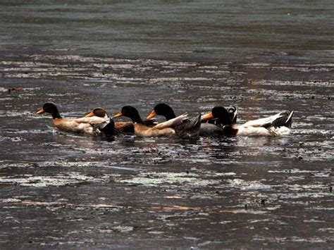 lakh ducks   culled  kerala minister oneindia