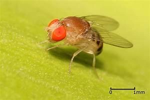 Drosophila - Simple English Wikipedia, the free encyclopedia