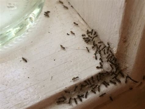 ants in the house indoor ants invasions innovative pest management