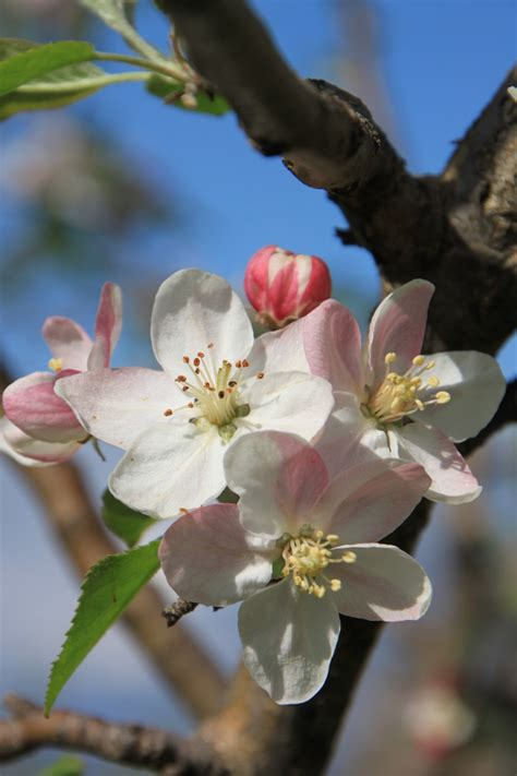 Free Images : apple tree nature branch fruit flower