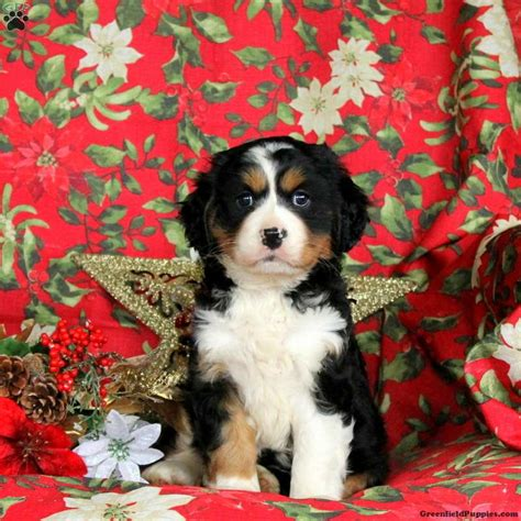 Shayla Miniature Bernese Mountain Dog Puppy For Sale In