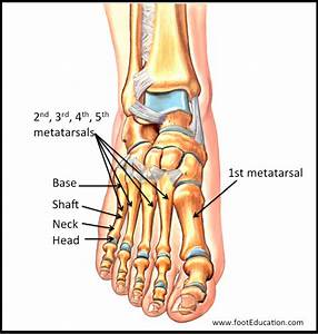 Metatarsal Definition Anatomy