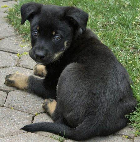 Die Besten 25+ Deutscher Schäferhund Mischling Ideen Auf