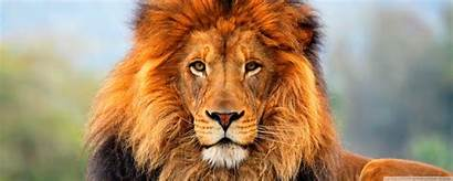Lion Wallpapers Animal Colorful Lions Roi Jungle