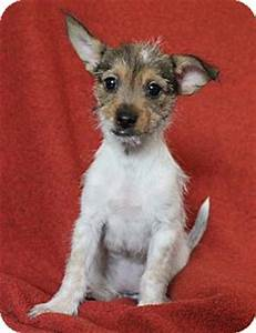 Silky Terrier/Jack Russell Terrier Mix Puppy for adoption ...