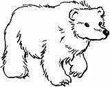 Bear Coloring Bears Grizzlies sketch template
