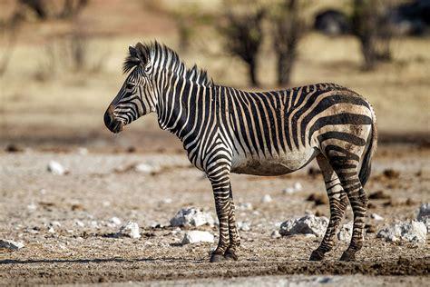 Mountain zebra Wikipedia