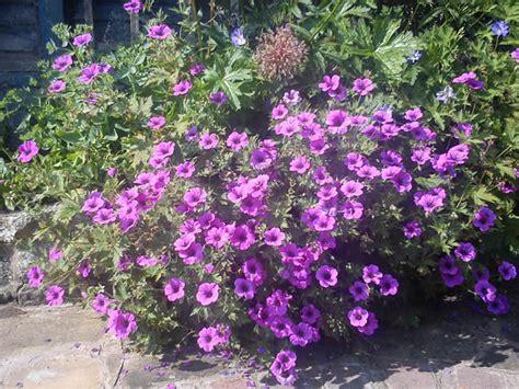 perennial shrubs perennial garden plants uk garden ftempo