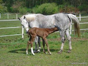 pferdehusten husten pferd bronchitis pferd asthma pferd