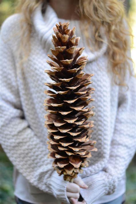 Giant Sugar Pine Cones