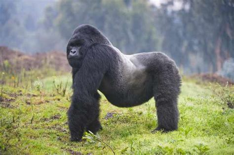 Mountain Gorilla Endangered Animals