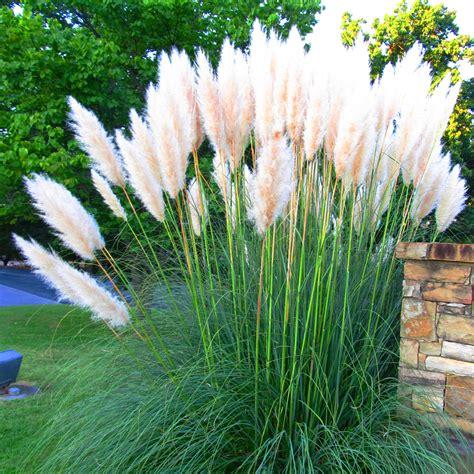 white pink combo cortaderia selloana pampas grass wpot