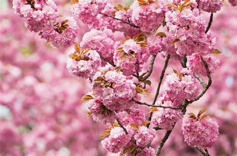 Known as the saucer magnolia, this large shrub or small tree produces flowers in very early spring, on the bare branches, before the leaves emerge. Top 6 Trees with Pink and White Flowers in Spring - Birds ...